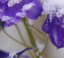 Violet Tenderness Sticker