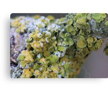 Yellow Lichen Frost Bite Canvas Print