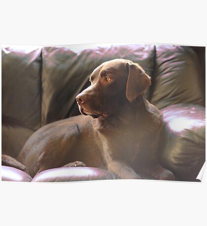 Daydream Chocolate Labrador Poster