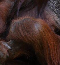 How to Fold an Orangutan Sticker