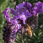 Lavender with bee Leith Park Victoria 20141005 0462 by Fred Mitchell