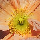 Peach Poppy Closeup by Marilyn Harris