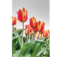 Dutch Tulips part 2 Photographic Print