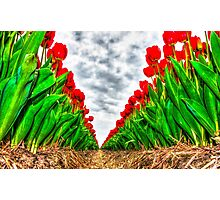 Dutch Tulips part 5 Photographic Print