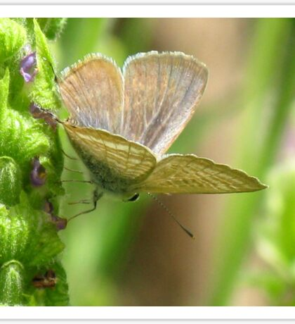 Poised - Long-tailed Pea Blue Butterfly Sticker