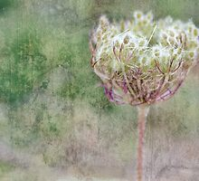 Daucus Carota by Astrid Ewing Photography