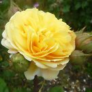 Speck's Yellow - Rose- my garden Spring 2016 by EdsMum