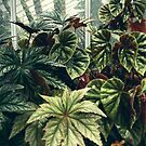 Beautiful Begonias by Olivia Joy StClaire