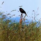Redwing Blackbird Resides Over the Field by TrendleEllwood