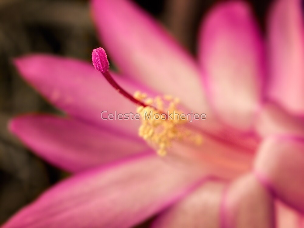 Christmas cactus in pink by Celeste Mookherjee