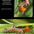 Willow Finned Prominent moth caterpillar by DigitallyStill
