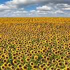 Texas Wildflower Images - June Sunflower Fields 8 by RobGreebonPhoto
