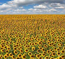 Texas Wildflower Images - June Sunflower Fields 8 by RobGreebonPhoto