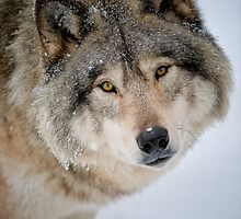 Timber Wolf by WolvesOnly
