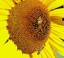 sunflower in early morning by Lisa Loeb