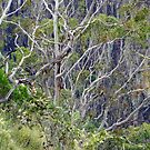 Apsley Gorge Gums by Harry Oldmeadow