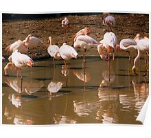 They feel at home! - Flamingos in the new Paris Zoo Poster