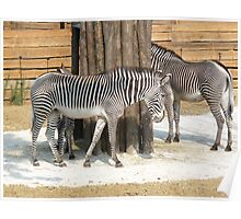 Can you see me? 3 zebras Poster