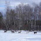 Dog Sledding at Mountain View - New Hampshire - USA by TonyCrehan