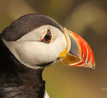 Puffin Profile by Jonathan Cox