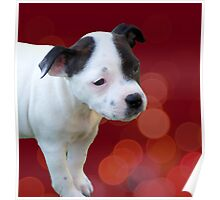 Staffordshire Bull Terrier, Black And White Puppy. Poster