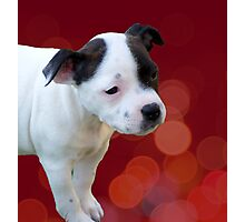 Staffordshire Bull Terrier, Black And White Puppy. Photographic Print