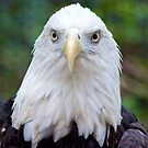 Bald Eagle Checking Me Out by imagetj