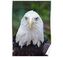 Bald Eagle Checking Me Out Poster