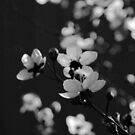 Spring in Black & White by Kitsmumma