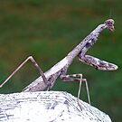 Praying Mantis by Cameron Hampton