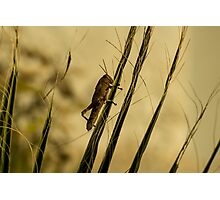 Wild Grashopper on Palm Leaves - Macro/Nature Photography Photographic Print