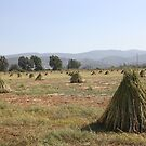 Sesame Crop and Harvest by taiche
