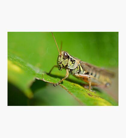 grass hopper  Photographic Print