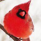 Mister Cardinal by lorilee