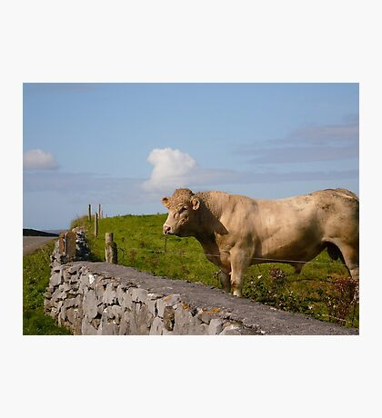 Bull - Ireland Photographic Print