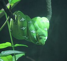 Green Tree Python by Bob Hardy