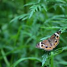 Common Buckeye Butterfly by Ben Waggoner