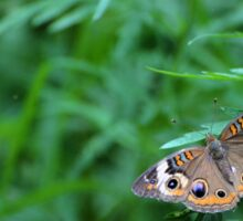 Common Buckeye Butterfly Sticker