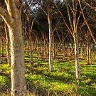Gum Tree Forrest by DPalmer