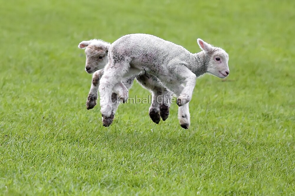 Spring Lambs by Kimball Chen
