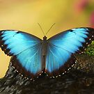 Blue Butterfly... by Billlee