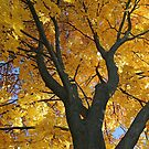 My Fall Maple 2016 3 by marybedy