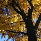 My Fall Maple 2016 by marybedy