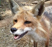 Smiling Red Fox by veggiefox