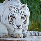 Crouching White Tiger  by Lucinda Walter