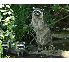 Stanley Park Raccoon and Cubs Photographic Print