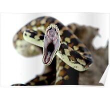 Darwin Carpet Python - yawning Poster