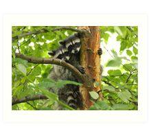 Stanley Park Raccoon Cubs Art Print
