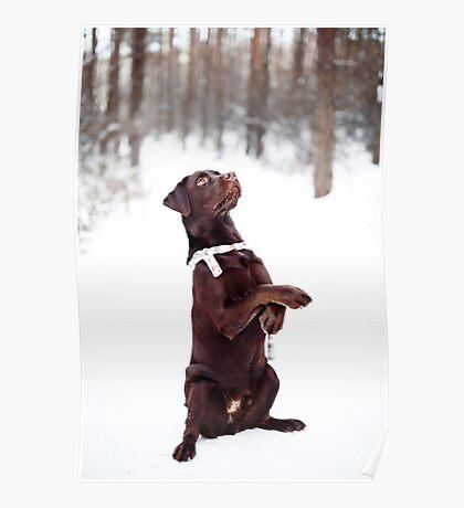 Pretty brown Labrador Retriever Poster