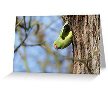Ring-necked Parakeet (Psittacula krameri) watching from its' nesting hole. Greeting Card
